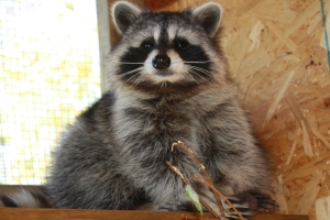 Beautiful Basil, my latest coonie baby -- summer of 2012 -- successfully reintroduced to the wild in May 2013.