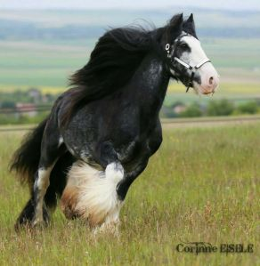 Gypsy Vanner