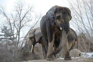 toronto-zoo-elephants-are-leaving-website-promo