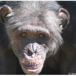 Charles, one of the chimpanzees at Jane Goodall's sanctuary in South Africa.
