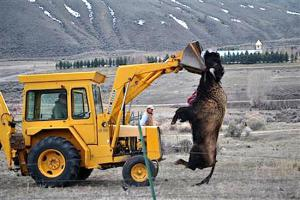 bison-slaughter-yellowstone