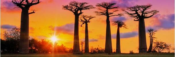 the baobabs in western Madagascar
